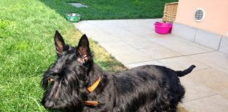 tyrion-scottish-terrier-1