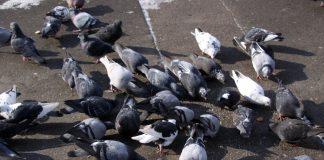 veleno piccioni donne avvelenate